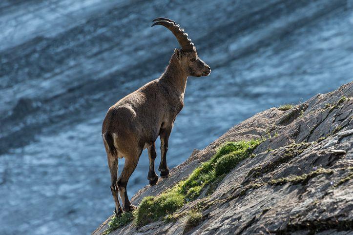 "Juara ke 3, the Alpine ibex (Capra ibex) atau dikenal sebagai Steinbock, kambing gunung yang menghuni Taman Nasional ""Hohe Tauern"", Carinthia, Austria. Photo by Bernd Thaller [CC BY-SA 3.0 license], via Wikimedia Commons"
