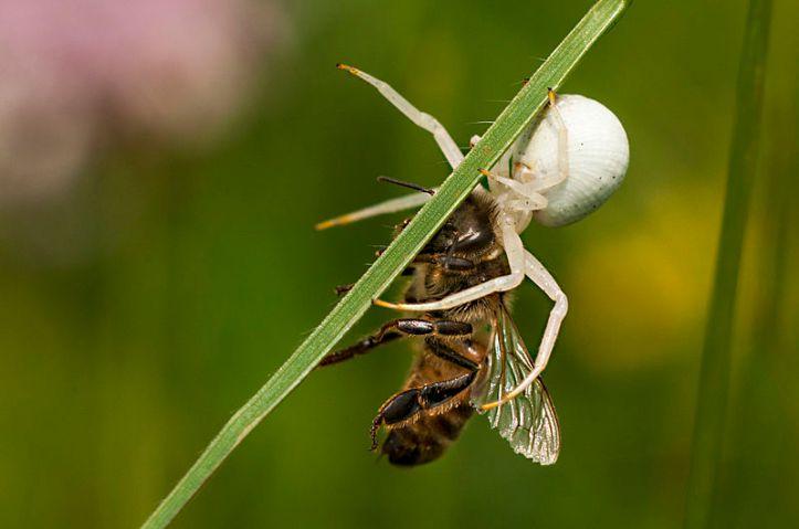 A spider (Misumena vatia) killed a bee. Di foto di kawasan hutan Bratental dekat Göttingen, Lower Saxony, Germany. By Suhaknoke [CC BY-SA 3.0 license], via Wikimedia Commons